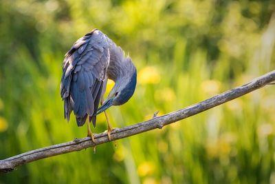 night heron 2363890